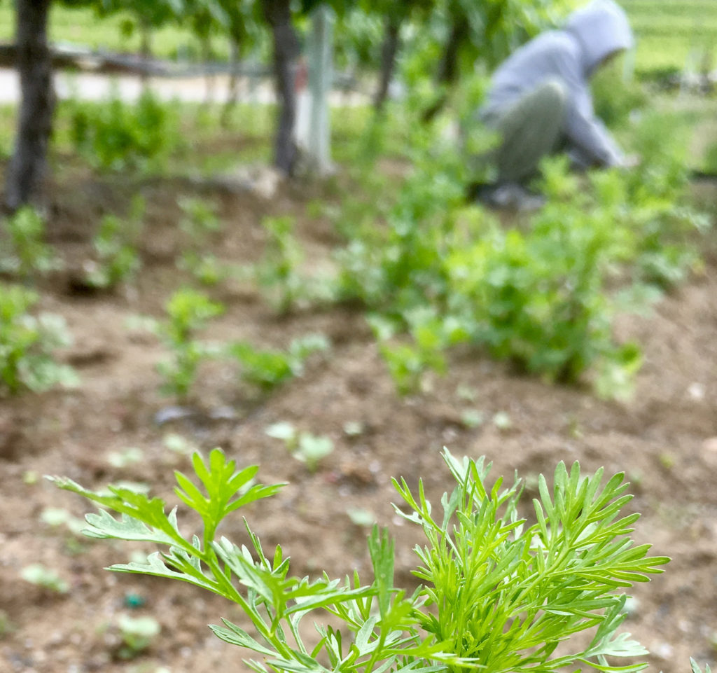photo of a person picking herbs in a field