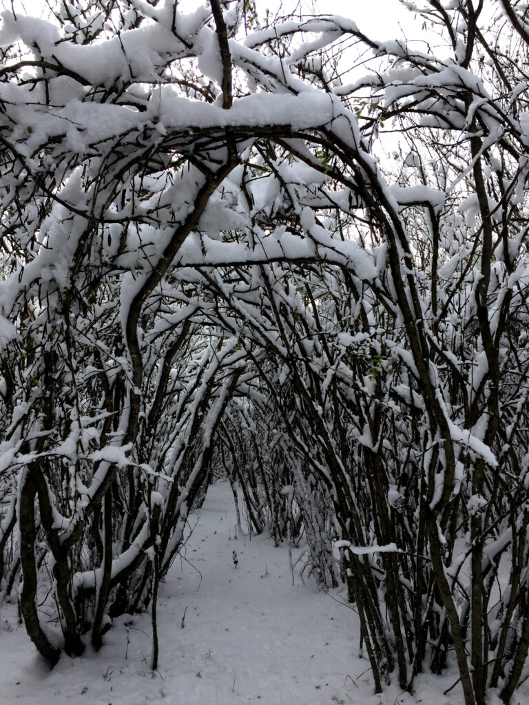 photo of caragana trees in winter